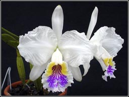 Brazilian Orchids Orchid News 32